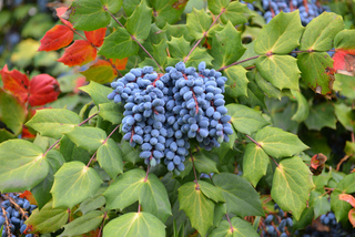 Mahonia : fruits