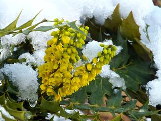 Mahonia en fleurs en hiver