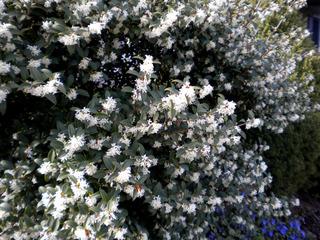 Osmanthe en fleurs