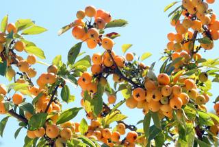 Pommier d'ornement - Fruits
