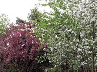 Duo de pommiers à fleurs