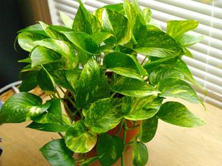 Le scindapsus (ou pothos) - plante d'intérieur facile