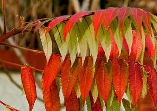 Rhus typhina - Feuillage d'automne
