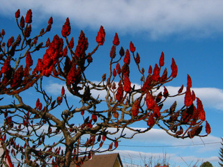 Rhus typhina - Fruits en hiver