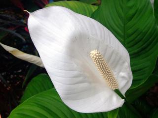 Spathiphyllum : Entretien, Soins