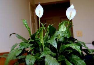 Spathiphyllum en intérieur