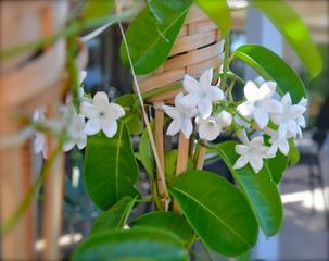 Stephanotis floribunda - Jasmin de Madagascar