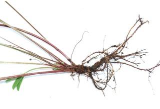 Trfolium pratense - Racines