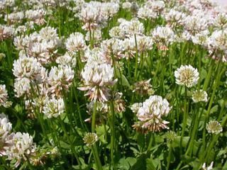 Trifolium repens - Trèfle blanc