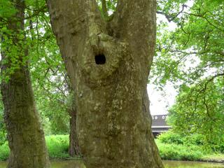 arbres creux cavit s et trous d 39 arbre. Black Bedroom Furniture Sets. Home Design Ideas
