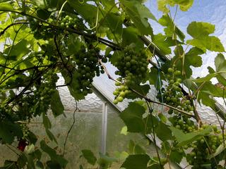 Vitis vinifera - Vigne sous serre