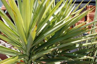 Yucca elephantipes 'Silver Star'