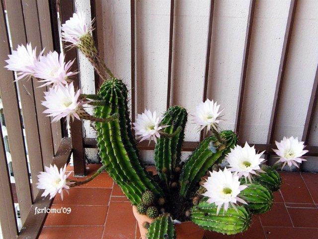 cactus : conseils d'entretien