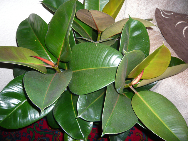 plante verte a large feuille