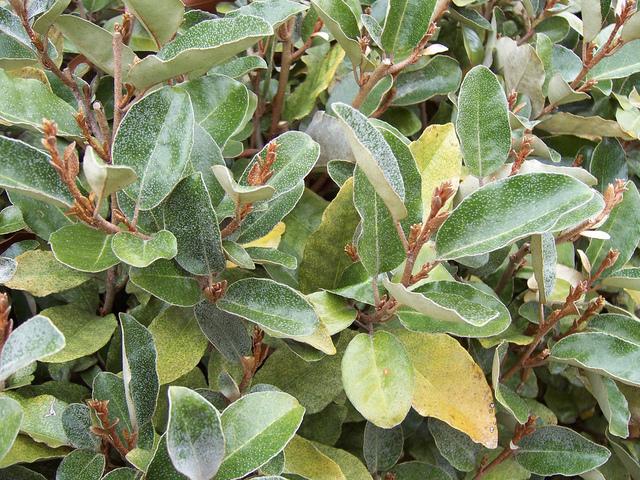 Eleagnus elaeagnus for Eleagnus maladie feuilles jaunes