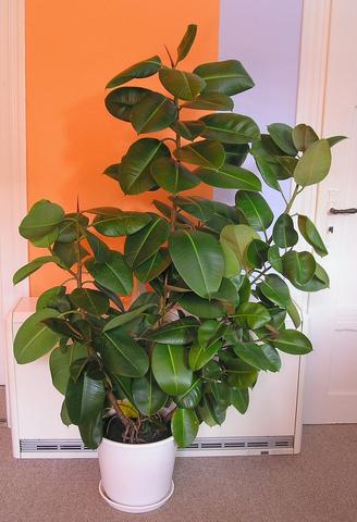 Caoutchouc ficus elastica for Plante caoutchouc