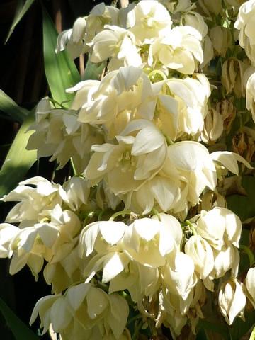 Yuka en fleurs - Plante verte avec fleur blanche ...