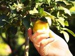 Récolter les agrumes : quand ? comment ?
