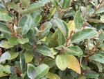 Eleagnus : un arbuste à redécouvrir