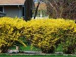 Haie fleurie : des arbustes pour chaque saison