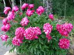 Pivoines : herbacées, arbustives, simples, japonaises, doubles, ...