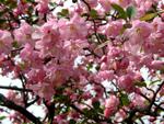 Les pommiers à fleurs
