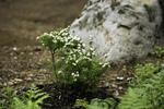Planter un arbuste en fleurs