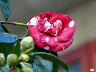 Camélia : des arbustes incontournable pour fleurir l'hiver !