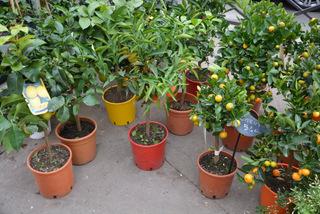 Agrumes en pot - Citronnier, mandarinier, calamondin