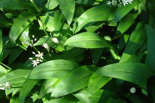 Ail des ours- Allium ursinum