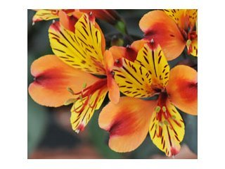 Alstroemeria Indian Summer / JardinExpress