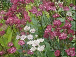 Astrantia major - variétés rose et blanche