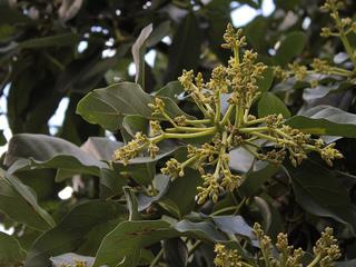 Avocatier - fleurs
