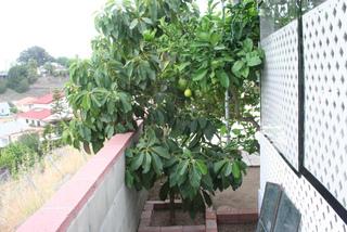 Avocatier sur une terrasse
