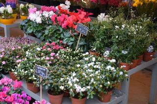Azalées, cyclamen et jasmin à l'étal d'un fleuriste