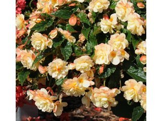 Begonia Belleconia Chardonnay / JardinExpress