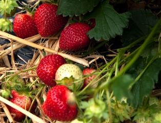 Fraise Rubis des Jardins, nouvelle variété adaptée au bio
