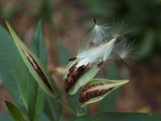 Graines transportées par le vent - Anémochorie