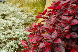 Brassica oleracea l - Plante a feuilles rouges ...