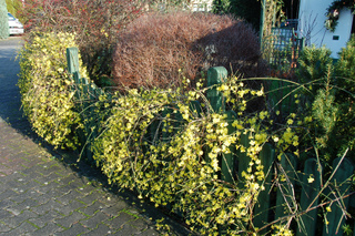 Jasmin d'hiver fleurissant une clôture