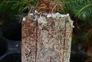 Mycorhizes sur racines de conifère