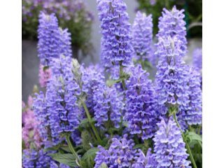 Nepeta Blue Moon / JardinExpress