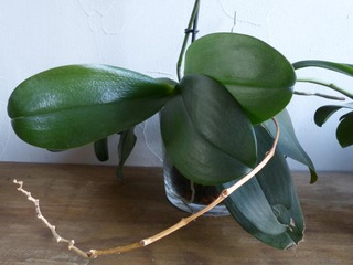 orchidee hampe florale seche