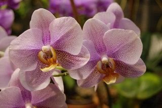 Orchidée - Phalaenopsis
