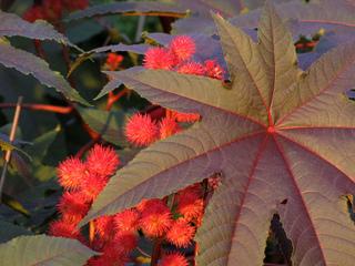 Plantes et Arbres à Feuillage Rouge