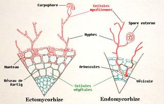 Mycorhizes - Coupe de racine
