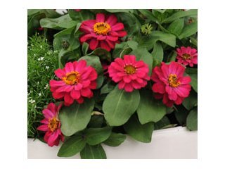 Zinnia Profusion Hot Cherry / JardinExpress