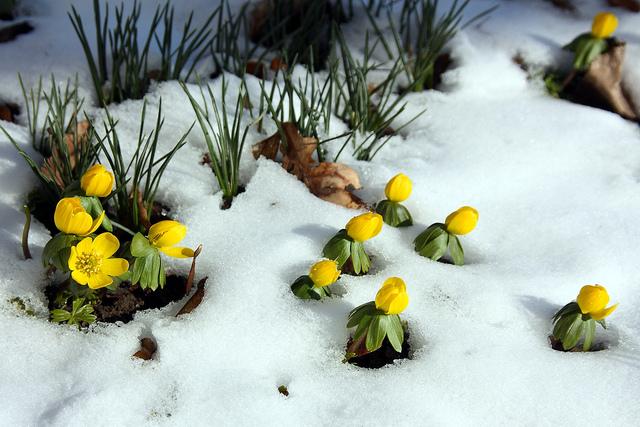 Eranthis hyemalis (Des fleurs au coeur de l'hiver)