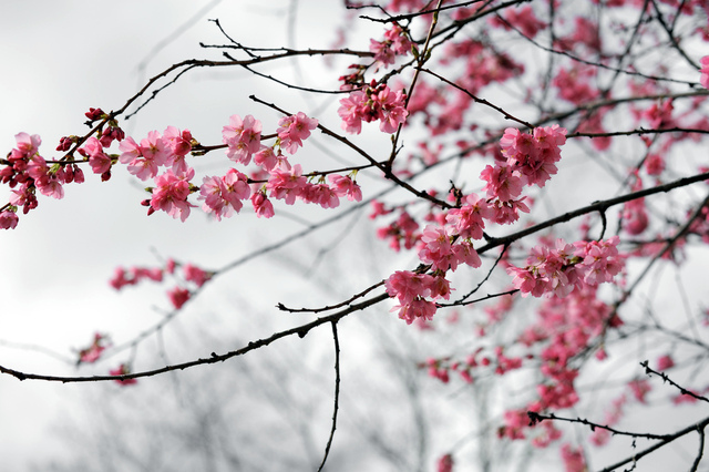 Prunus subhirtella 'Whitcomb' (Des fleurs au coeur de l'hiver)