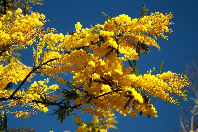 Acacia dealbata (Des fleurs au coeur de l'hiver)